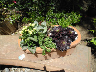 Modern mixed textures with aeoniums