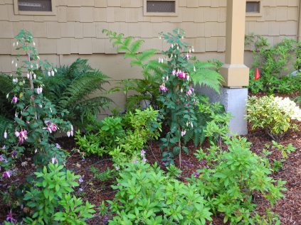 Ferns, Fuschias with Daphne